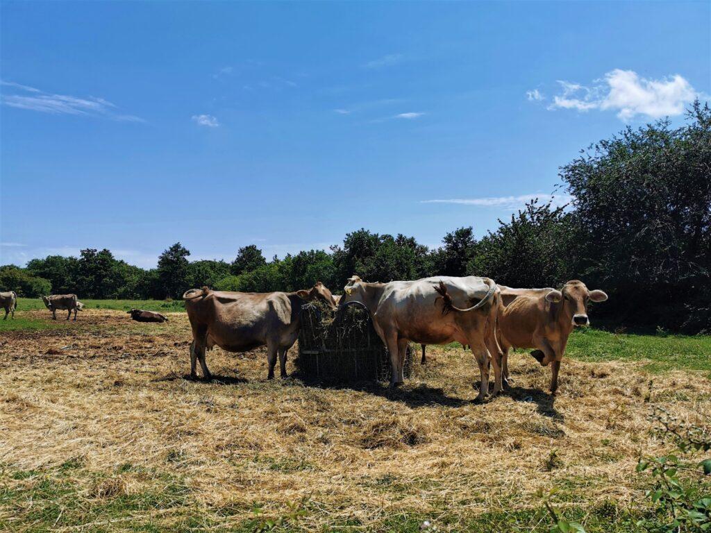 Alpske krave Latus