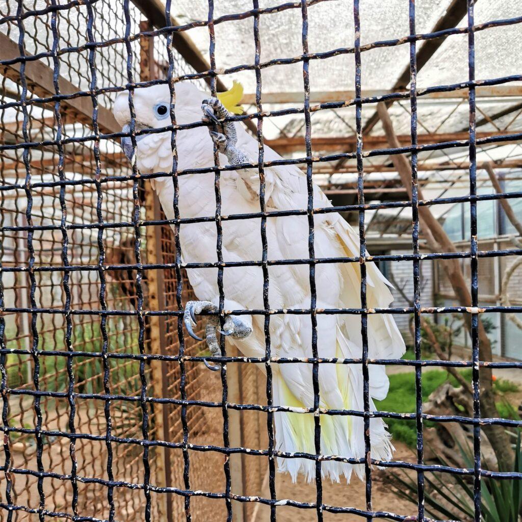 Kakadu Koki Brijuni